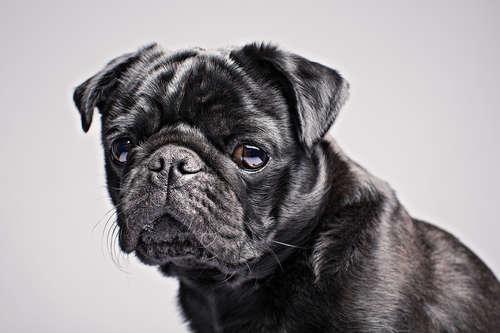 Jimmy-The-Pug_