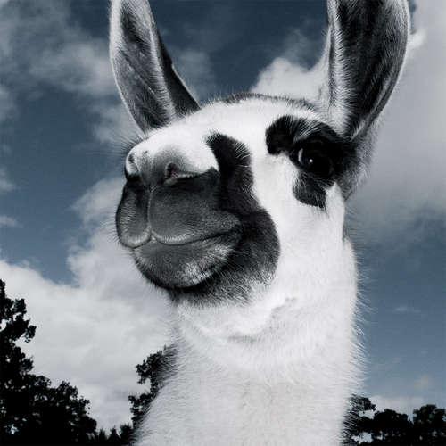 Lama-Portrait
