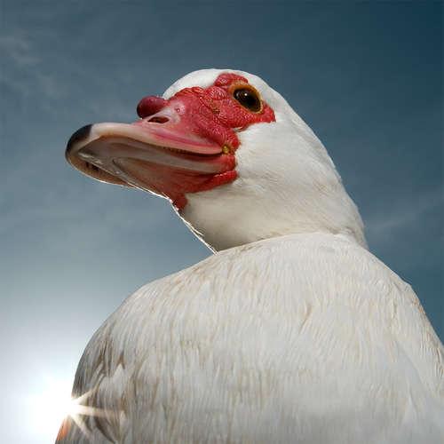 Musckavey-Duck